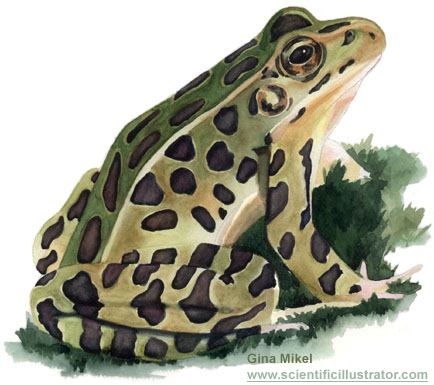 how to take care of a leopard frog